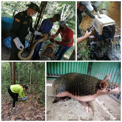 Gráfica alusiva a la noticia Liberación de Fauna (Anaconda-Armadillo) en el Departamento del Guaviare